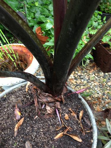 colocasia - Colocasia esculenta - taro 1029