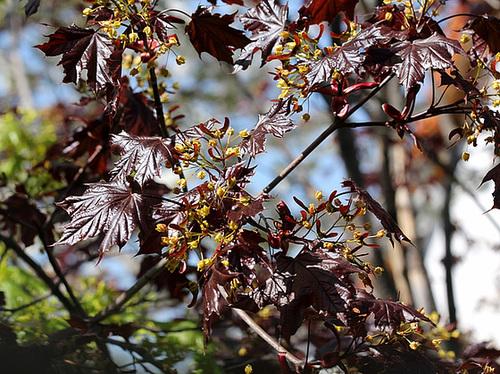 Acer platanoides - érable plane  1065