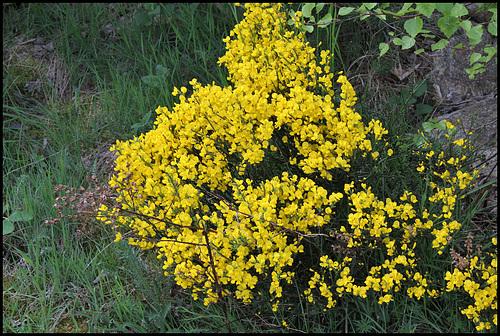Cytisus oromediterraneus (= C. purgans) - genêt purgatif 1067