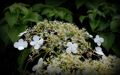 Hydrangea petiolaris 1069