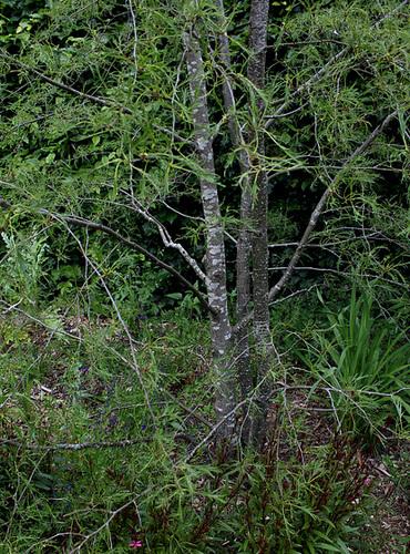 Alnus glutinosa et cultivars - aulne glutineux 1072