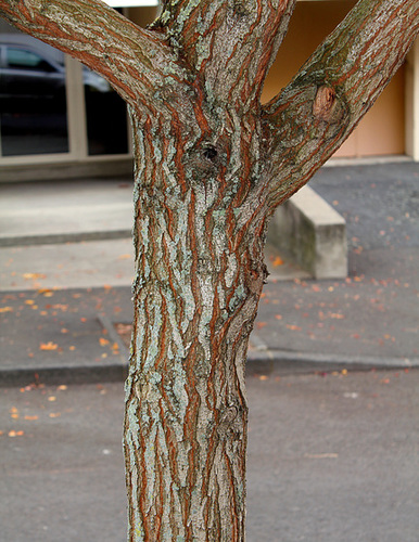 *koelreu* - Koelreuteria paniculata - savonnier 1073