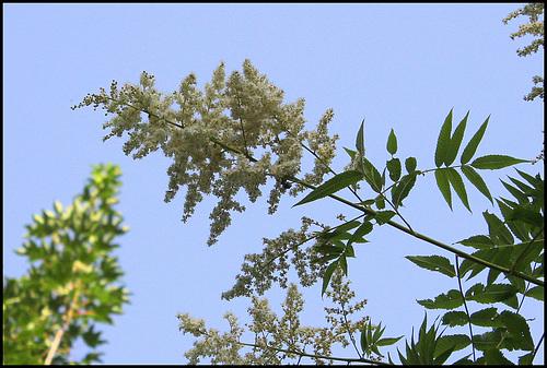 Sorbaria sorbifolia - sorbaria à feuilles de sorbier 1074