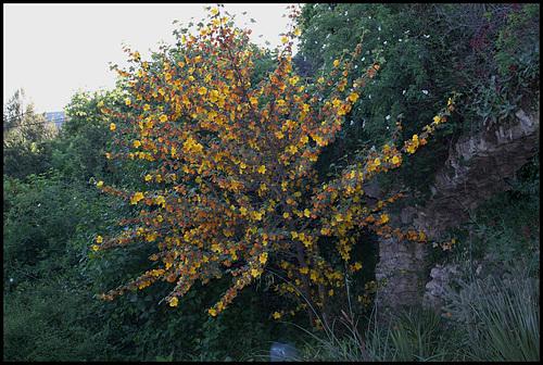 Fremontodendron californicum 1075