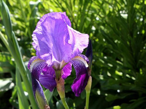 Floraisons de nos Iris barbus 2013 - Page 7 1081