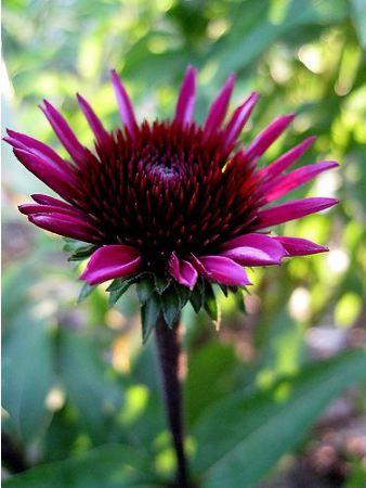Rudbeckia et Echinacea 10_pam10