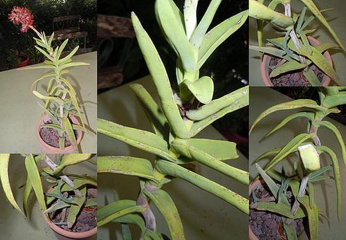 Crassula perfoliata var. falcata (= C. perfoliata var. minor = C. falcata) 10abei10