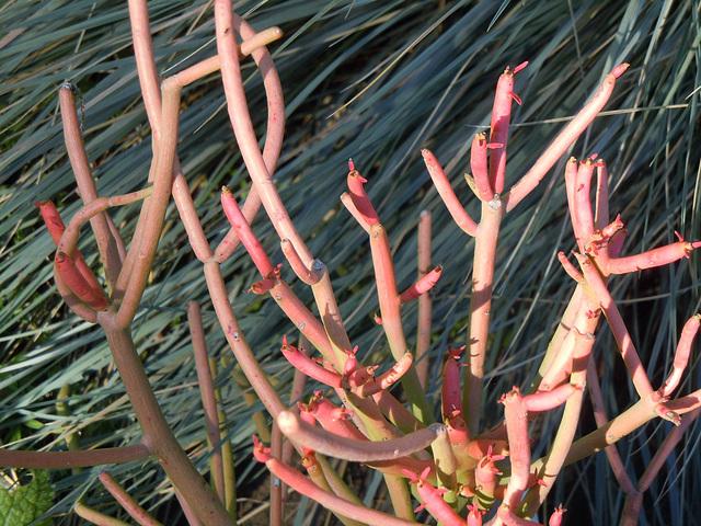 Euphorbia tirucalli 10abei11