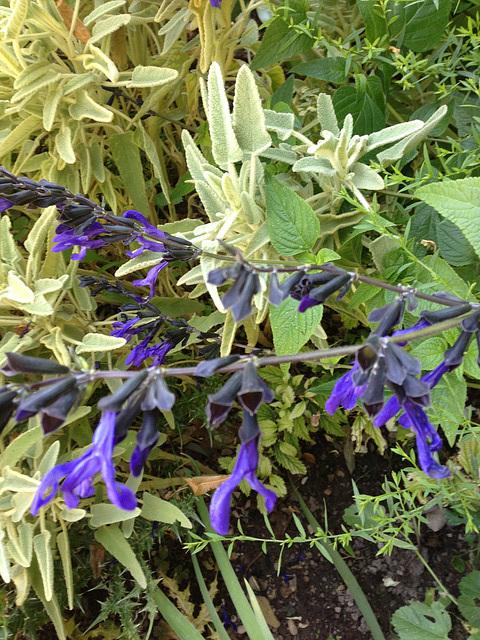 Salvia guaranitica 10abei12
