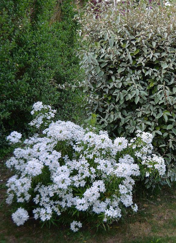 Choisya dumosa var. arizonica cv 'Aztec Pearl' 10cort10