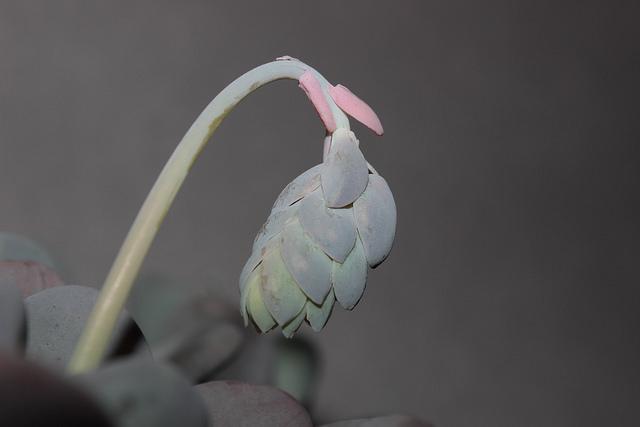 Pachyphytum oviferum 10dav10