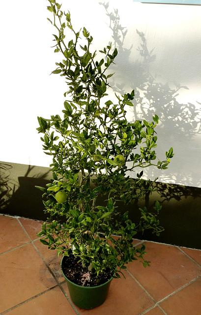 Citrus trifoliata (= Poncirus trifoliata) 10dhee10