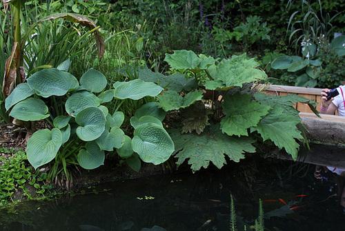 Rheum - rhubarbes ornementales  10neir11