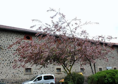 Prunus padus - cerisier à grappes - espèce et cultivars  10neir13