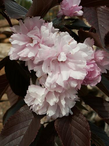 Prunus serrulata - cerisiers à fleurs du Japon 11-cug11