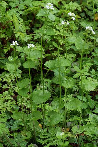 Alliaria petiolata - alliaire 11-ser11
