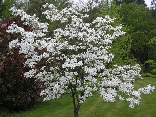 Cornus florida - cornouiller à fleurs  1124