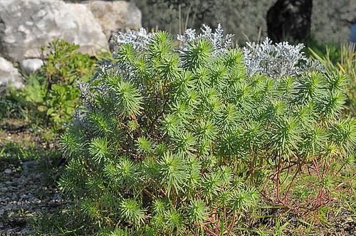 Euphorbia linifolia - euphorbe à feuille de lin 114