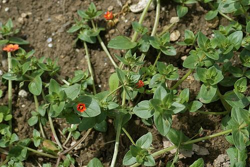 Lysimachia arvensis (= Anagallis arvensis) - mouron des champs 115