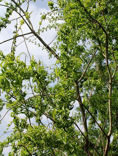 Salix - groupe babylonica et matsudana - saules pleureurs et tortueux  1152