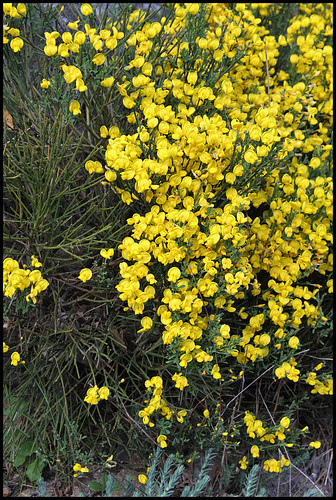Cytisus oromediterraneus (= C. purgans) - genêt purgatif 1153