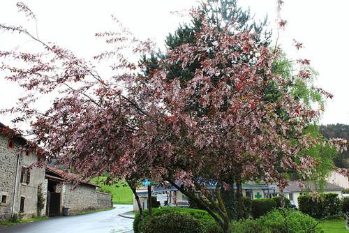 Prunus padus - cerisier à grappes - espèce et cultivars  1154