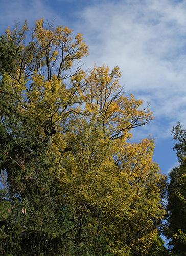 Acer campestre - érable champêtre 1158