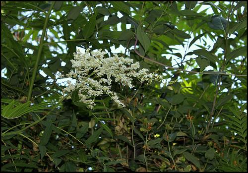 Sorbaria sorbifolia - sorbaria à feuilles de sorbier 1162