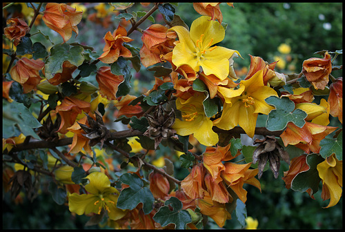 Fremontodendron californicum 1163