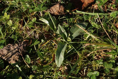 Ophrys apifera - ophrys abeille 11_ser10