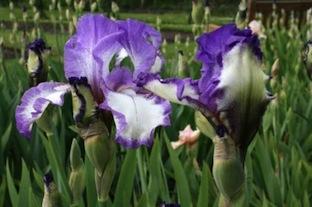 Schreiner - Iris 'Art Deco' - Schreiner 1997 11danc10