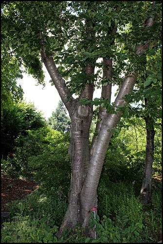 Prunus avium - merisier, cerisier sauvage 11neir10