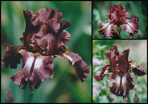 Floraison de nos iris barbus saison 2014 - Page 5 11neir11