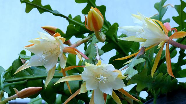 Epiphyllum anguliger - Page 2 12-18_10