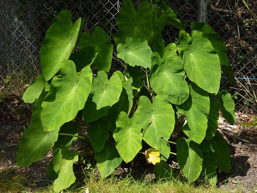 colocasia - Colocasia esculenta - taro 12-dhe10