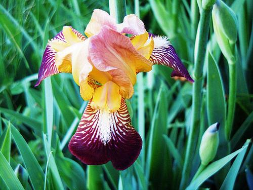 Floraisons de nos Iris barbus 2013 - Page 6 12-pam10