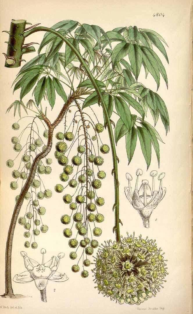 Brassaiopsis glomerulata 120711