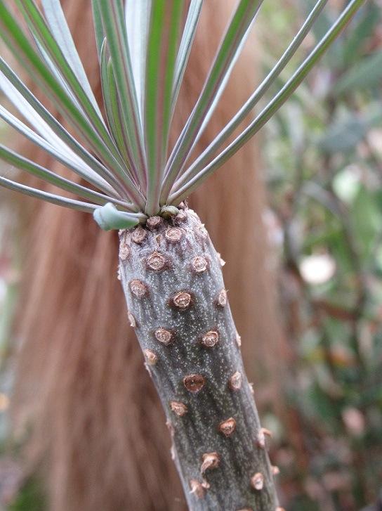 Kleinia neriifolia (= Senecio kleinia) 1218