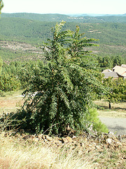 Ailanthus altissima - ailante 1224