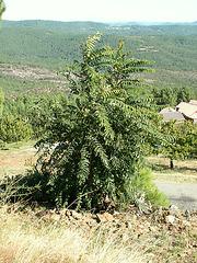 Ailanthus altissima - ailante glanduleux 1224