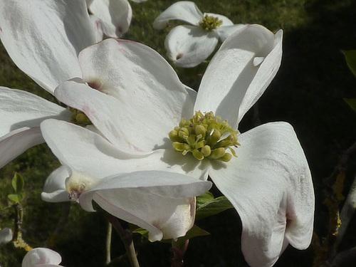 Cornus florida - cornouiller à fleurs  1230