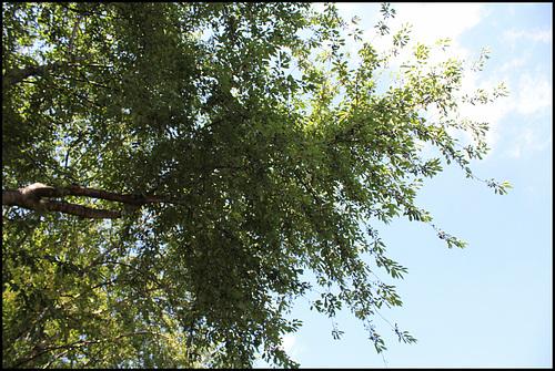 Prunus avium - merisier, cerisier sauvage 1258
