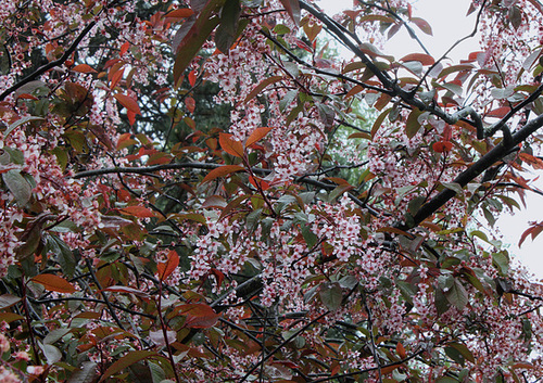 Prunus padus - cerisier à grappes - espèce et cultivars  1259