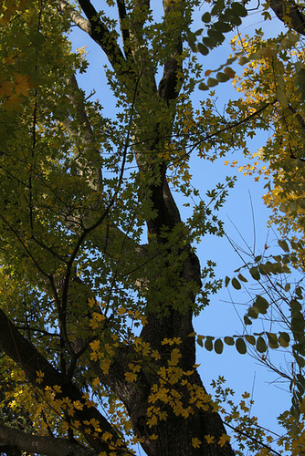 Acer campestre - érable champêtre 1263