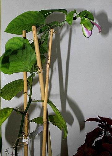 Passiflora quadrangularis et son hybride x Decaisnea 129