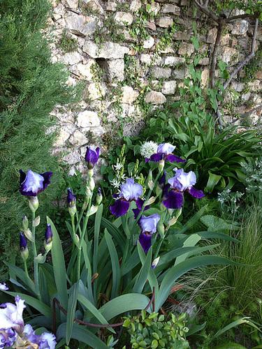Floraisons de nos Iris barbus 2013 - Page 3 12_abe13