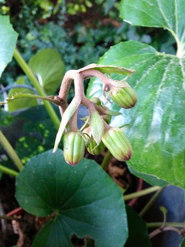 Farfugium japonicum (= Ligularia kaempferi) - Page 2 12abei10