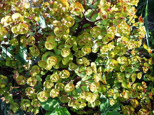Euphorbia amygdaloides 13-abe10