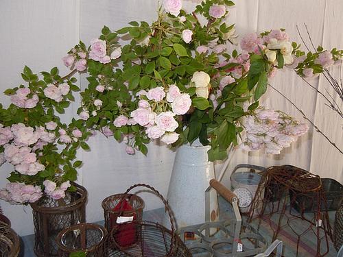 rosier 'Laure Davoust' 13-abe13