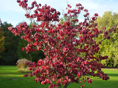 Cornus florida - cornouiller à fleurs  13-dhe10